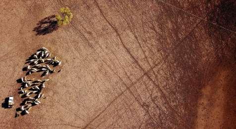 Um agricultor a alimentar o gado que lhe restou.