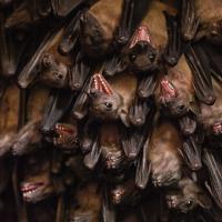 Pessoas estão a beber sangue de morcegos com a intenção de tratar doenças