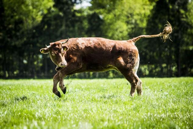 Hermien a aproveitar o seu primeiro dia ao ar livre. A vaca escapou de um camião de transporte de gado que ia para o matadouro, em maio de 2018. Uma campanha de crowdfunding acabou por salvar-lhe a vida. Foto: Siese Veenstra / AFP / Getty