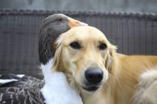"""Um cão chamado """"Dost"""" (amigo) e um ganso chamado """"Zincir"""" (corrente),que cresceram juntos, são fotografados juntos em Ancara, Turquia, a 30 de setembro de 2018. Foto: Mustafa Kamaci / Anadolu Agency / Getty"""