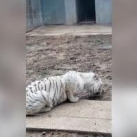 Tigre esfomeado em jardim zoológico chinês é forçado a comer lama