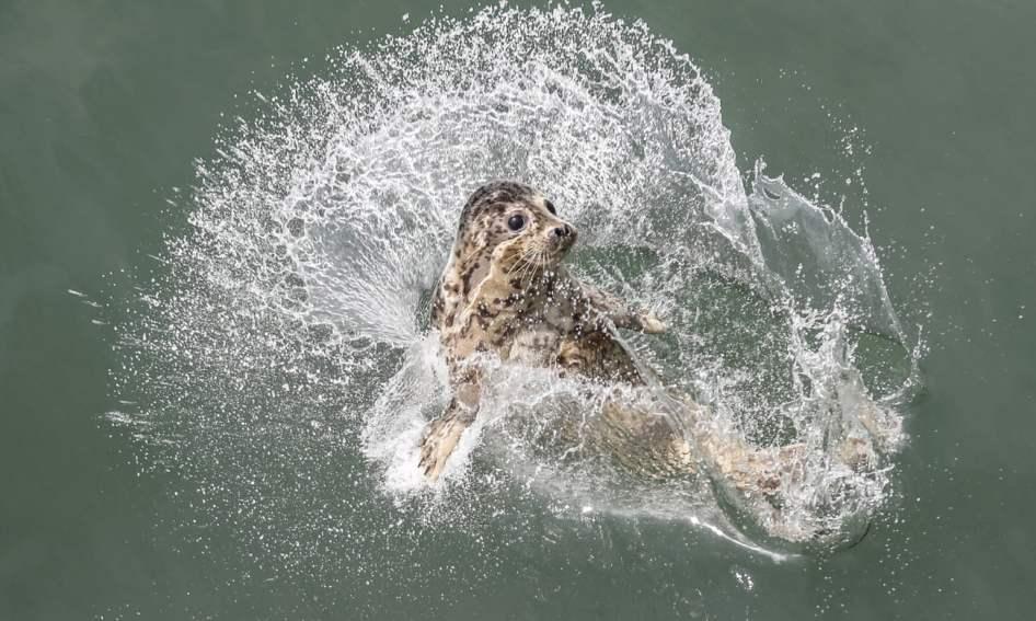 Uma foca é libertada em Dalian, na China. Foto: Pan Yulong/AP