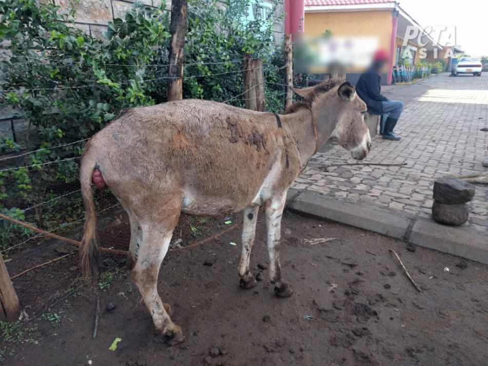 Donkey-with-apparent-prolapse-1024x768