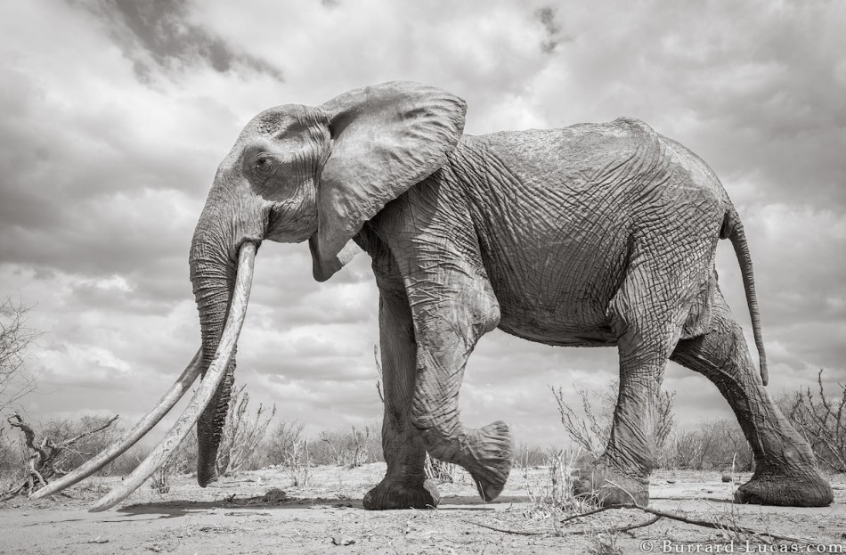 will-burrard-lucas-elephant-queen-2