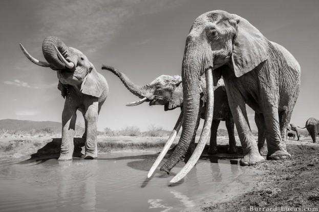 will-burrard-lucas-elephant-queen-7