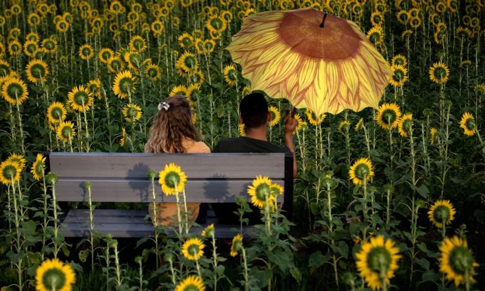 Casal sentado numa quinta de girassóis, em Virgínia, EUA. Foto: Brendan Smialowski/AFP/Getty Images