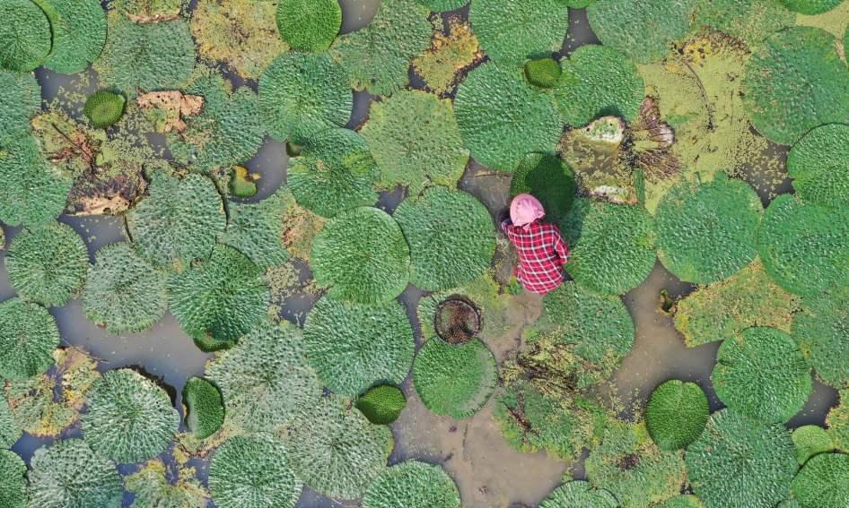 Um agricultor apanha frutos no sul da China. Foto: Huang Xiaobang/Xinhua/Barcroft Media