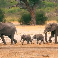 Zimbabué prepara deslocação de 600 elefantes e outros animais devido à seca